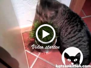 Eine katze frisst Katzengras