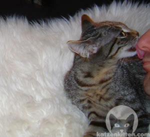Eine Katze putzt ihren Menschen