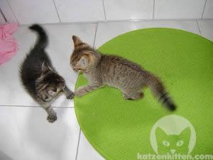 Katzen mit buschigem Fell