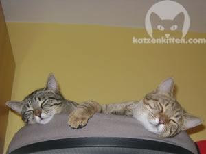 Ruhende Katzen