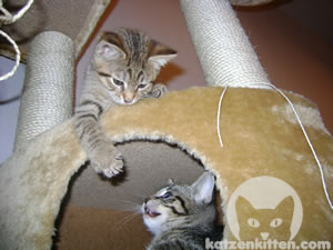Zwei kleine Katzen die miteinander Spielen.