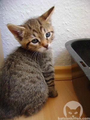 Kleines Kätzchen vor einem Katzenklo mit hohem Rand