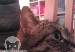 Das Ohr einer Katze