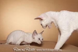 Zwei Devon Rex Katzen aus der Zucht von Petra & Harald.