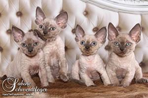 Vier Devon Rex Kitten aus der Zucht von Petra & Harald.