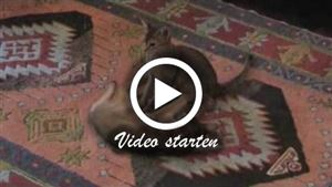 Zwei spielende Abessinierkatzen