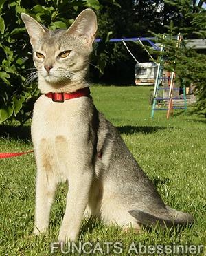 Abessinier Katze