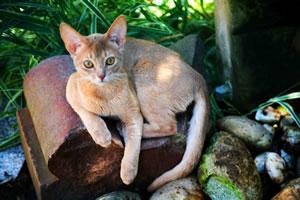Gatobelo's Yoko, eine fawnfarbene Abessinierkatze