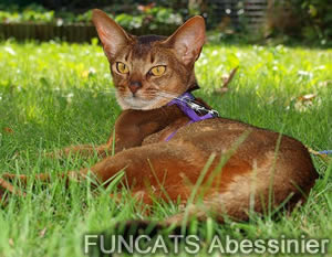 Ch. Funcats Kimara - wildfarben - Aby wildfarben.