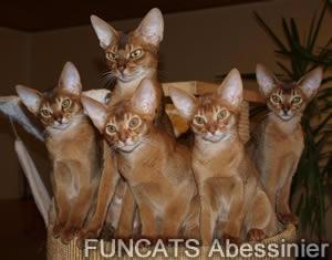 Funcats K-Wurf mit Mama Sari - Abys in wildfarben und sorrel.