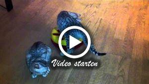 Zwei Ägyptische Mau Katzen