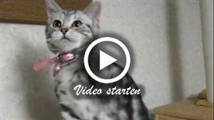 Zwei American Shorthair Katzen
