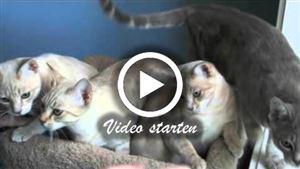 Mehrere Australische Schleierkatzen / Australian Mist Katzen