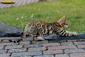 Eine Bengalkatze von Al Janna