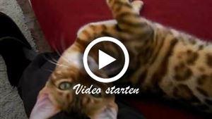 Eine verschmuste Bengalkatze