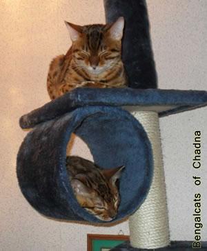 Bengalkater Aiko und Katze Tabita