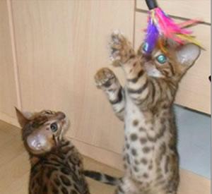 Zwei süße Bengalkitten beim Spielen