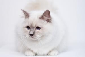 Birma Katze