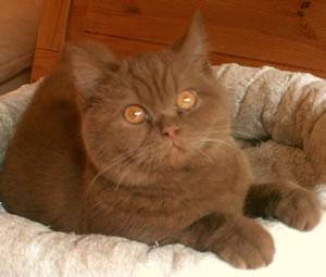 BKH Katze Chiara