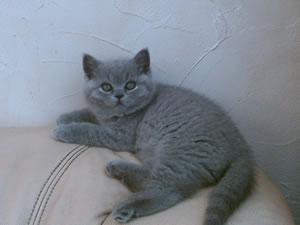Britisch Kurzhaar Katze Estorio