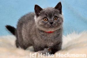Calypso, eine BKH Katze vom Wümmegrund
