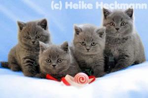 Vier BKH Kitten vom Wümmegrund