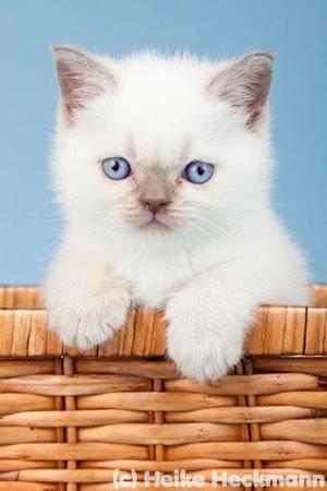 BKH Kitten vom Wümmegrund, Farbe Lilac-Point