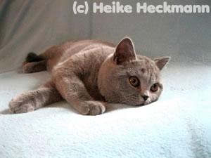 Tanni, eine BKH Katze vom Wümmegrund