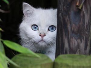 BKH Kitten mit schönen blauen Augen