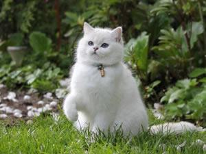 Eine Britisch Kurzhaar Katze sitzt im Gras