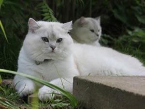Eine erwachsene BKH Katze liegt im Gras