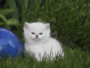 Ein Britisch Kurzhaar Kitten sitzt im Gras