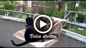 Zwei Bombaykatzen
