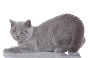Casper, eine Britisch Kurzhaar Katze vom Tegernsee