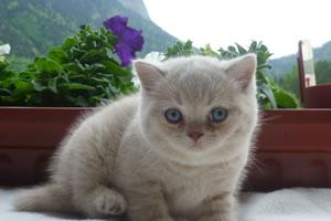 Britisch Kurzhaar Kitten vom Tegernsee in Creme.
