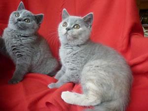 Zwei Britisch Kurzhaar Kitten vom Tegernsee