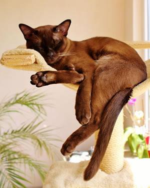 Eine Burma Katze schläft auf dem Kratzbaum
