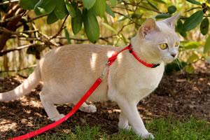 Eine Burma Katze mit Freigang und Leine