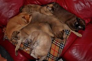 Sechs Burma Katzen von Rackersville