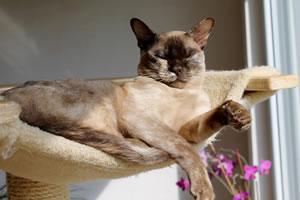 Eine Burmesen Katze am Schlafen