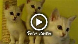 Kleine Burmillakatzen