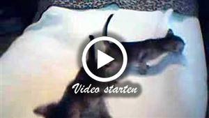 4 Wochen junge Ceylon-Katzenbabys