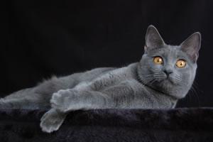 Chartreux Katze Doris