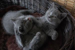 Zwei 8 Wochen alte Chartreux Kitten