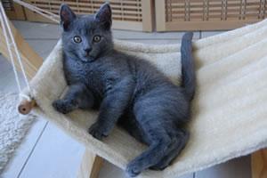 Ein 9 Wochen altes Chartreux Kitten