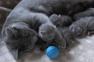 Chartreux katze mit Kitten
