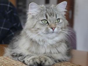 Deutsch Langhaar Katze Atokirina von Sinthari