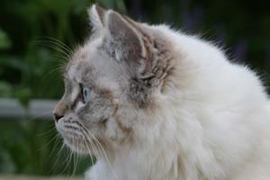 Deutsch Langhaar Katze Cherimoya von Sinthari