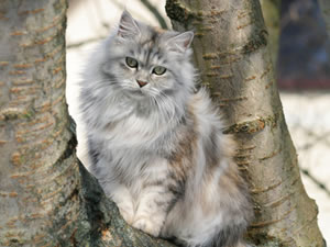Deutsch Langhaar Katze Leeloo von Sinthari
