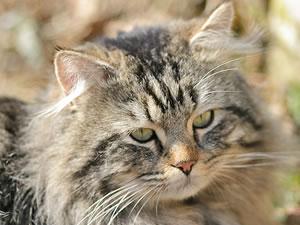 Deutsch Langhaar Katze Nidi von Germangora